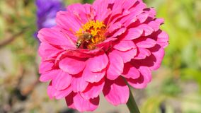 Pink dahlia and bee stock footage