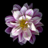 Pink Dahlia Black Background Royalty Free Stock Images