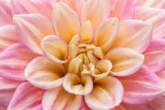 Pink dahlia in bloom in a garden. Close-up dahlia in bloom in a Japanese garden near Tokyo Stock Images
