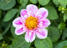 Pink dahlia bloom macro Stock Photography