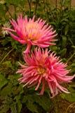 Pink dahlia blossom Stock Images