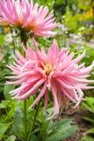 Pink dahlia blossom Stock Image