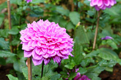 Pink Dahlia. In Botanic Garden Royalty Free Stock Photography