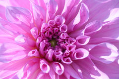 Pink dahlia Royalty Free Stock Image