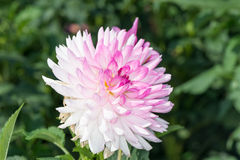 Pink dahlia Royalty Free Stock Photo