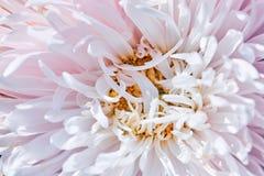 Bud shot a big pink Dahlia. Pink dahlia bud shot close-up royalty free stock photos