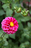 Pink Dahlia with buds. Summer card. Stock Photography