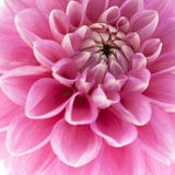 Pink dahlia close-up Stock Image