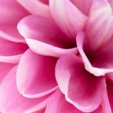 Pink dahlia close-up Stock Photo