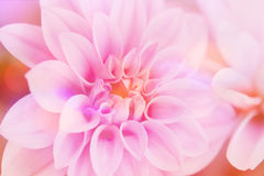 Pink dahlia close up Royalty Free Stock Images