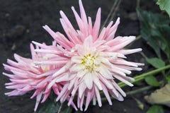 Pink dahlia close up Stock Image