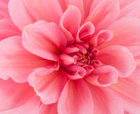 Pink of a dahlia closeup Royalty Free Stock Photos