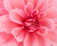 Pink of a dahlia closeup Royalty Free Stock Photos