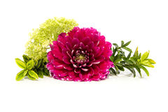 Pink dahlia in closeup with plants Royalty Free Stock Photos