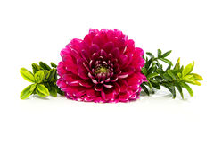 Pink dahlia in closeup with plants Stock Photos