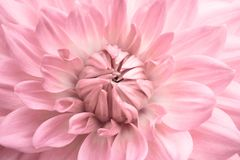 Pink dahlia. Pink colourful flower close up macro photo with light colours with fresh blossoming dahlia flower head details stock image