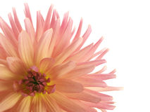 Pink dahlia in the corner Royalty Free Stock Photography