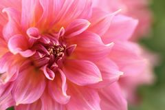 Pink Dahlia. Curly pink dahlia flower, flowers on strong stems.  Flowers have a hit of yellow in the centres.  Summer blooms Royalty Free Stock Photos