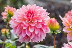 Pink Dahlia stock photography