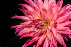 pink dahlia in dark background Royalty Free Stock Photo