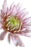 Pink Dahlia. An elegant pink Dahlia flower Royalty Free Stock Photography