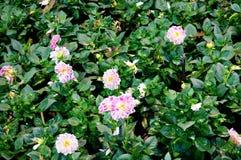 Pink Dahlia Figaro flower Stock Image