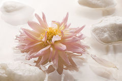 Pink Dahlia Floating on Water with Rocks. Stock Photography