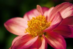 Pink Dahlia Flower. Closeup macro of a pink Dahlia flower Royalty Free Stock Images