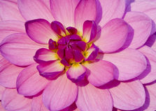 Pink dahlia flower Royalty Free Stock Image