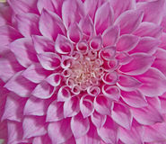 Pink dahlia flower Stock Photos