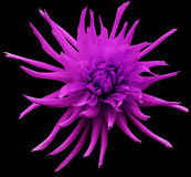 Pink Dahlia flower, black isolated background with clipping path.   Closeup.  no shadows.  For design.  Bright shaggy flower. Stock Image