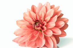 Pink dahlia flower in bloom. On white background Stock Images