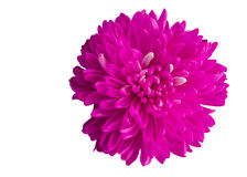 Single bright pink dahlia flower blossom isolates  Royalty Free Stock Images