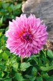 Pink Dahlia Flower. Royalty Free Stock Photo