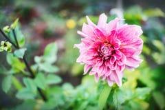 Pink Dahlia flower blossom Royalty Free Stock Photo