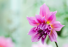 Pink dahlia flower Stock Images