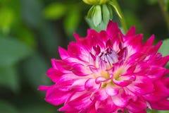 Pink Dahlia flower on blurred background Stock Photos