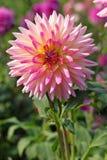 Pink Dahlia flower. In botany garden Stock Images