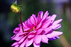 Pink Dahlia flower with Bud Royalty Free Stock Image