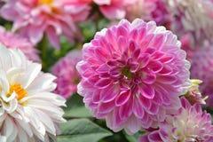 Pink Dahlia flower. Pink Dahlia bushy tuberous herbaceous perennial plants native to Mexico Stock Image