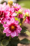 Pink Dahlia flower called Fascination. Is found in Mexico and is the national flower Stock Photo