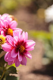 Pink Dahlia flower called Fascination. Is found in Mexico and is the national flower Stock Photography