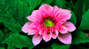 Pink dahlia flower Royalty Free Stock Photo