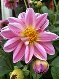 Pink Dahlia flower. Close up of pink Dahlia flower and buds in garden setting Stock Image