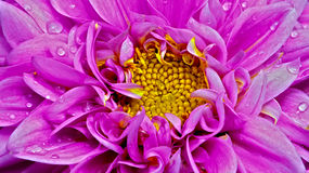Pink dahlia flower close up Royalty Free Stock Photos