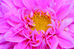 Pink dahlia flower close up. Detailed center view of a pink dahlia flower with dew drops on petals Stock Image