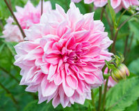 Pink Dahlia Flower Royalty Free Stock Photos