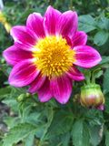 Pink Dahlia flower. Close up of pink Dahlia flower and buds with yellow centre in garden setting Royalty Free Stock Photos