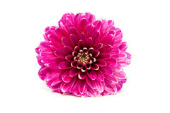 Pink Dahlia flower in closeup Royalty Free Stock Images