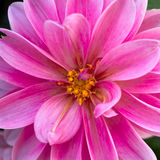 Pink dahlia flower closeup Stock Photos